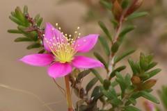 Calytrix fraseri . Purple starflower (Uhlenhorst) Tags: 2011 australia australien flowers blumen pflanzen blossoms blten travel reisen plants