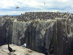 Sanctuary (marktmcn) Tags: staple island wildlife sanctuary farne islands bird colony flock guillemot gulls cliffs cliff face rocks nests nesting rocky outcrop northumberland gb shag