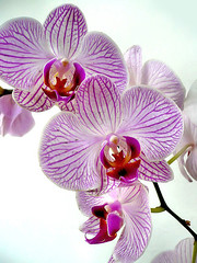 Pink Orchid (retno s) Tags: pink orchid blooms plant flower macro