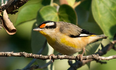 Striated Pardalote at East Point_9905 (Jen Crowley Photography) Tags: bird striatedpardalote pardalote striated tiny northernterritory nt nikon australia eastpoint
