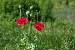 Moonid (Jaan Keinaste) Tags: pentax k3 pentaxk3 eesti estonia loodus nature moon poppy punane red