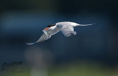 Common Tern with fish 8_14 (krisinct- Thanks for 12 Million views!) Tags: nikon d500 500 f4 vrg