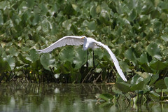 John Heinz National Wildlife Refuge 8-20-2016-213 (Scott Alan McClurg) Tags: aalba ardea ardeidae papilionidae philadelphia conservation egret flight fly flying glide gliding greatblueheron green gretegret johnheinzfederalwildliferefuge land landing life nature naturephotography park pennsylvania pond reflection water wetlands wild wildlife