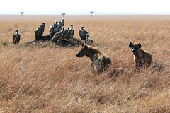 Vultures Waiting (fuzzball5) Tags: 2016 africa kenya hyena vulture masai mara bird