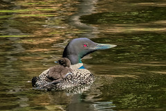 'Gavia Immer' (Canadapt) Tags: loon commonloon mother chick lake reflection carry keefer canadapt