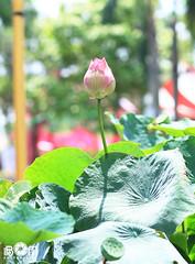Lotus Viet Nam (iBom Photographer & Designer / 093.7001.093) Tags: lotus sen vitnam hoasen msen bngsen