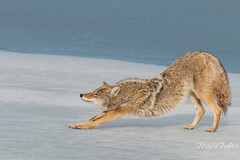 Male coyote stretches