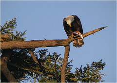 Bald eagle clutching his prize (marneejill) Tags: fish eagle bald salmon clutching