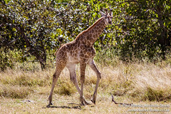 Giraffe In The Okavango Delta, Botswana