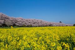 colors of spring (Naoki Kikuchi) Tags:  cherryblossom