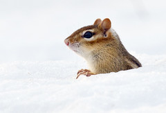 Is it Spring Yet? (Boganeer) Tags: snow canada nature animal canon mammal rodent wildlife hiver fredericton newbrunswick chipmunk nouveaubrunswick neige canoneos atlanticcanada tamiasstriatus tamias rongeur easternchipmunk canon600d canoneos600d canont3i canonrebelt3i canoneost3i