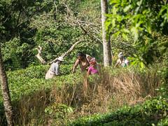 20150224-_1130083.jpg (IanRolo) Tags: srilanka forestedge teapicking ranjurawa