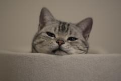 うな子 (mijabi) Tags: cat canon americanshorthair 15 猫 6d f15 75mm ぬこ biotar czj carlzeissjena eos6d unako アメショー うな子 アメリカン・ショートヘア unaco シルバータビー