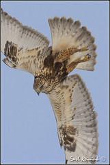 The dive (Earl Reinink) Tags: ontario canada nature spring nikon hawk niagara raptor earl migration roughleggedhawk naturephotography earlreinink reinink nikond4s hzhardtdoa
