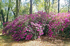 Azaleas in Bloom, Rainbow Springs State Park (StevenM_61) Tags: statepark park flowers trees spring azaleas florida blossoms shrubs dunnellon