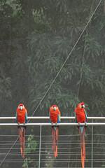 The Three Amigos (Carla Talabá Visuals) Tags: nature colors animals 2015 simetría guacamayos colorseeker