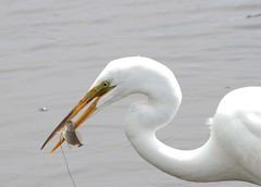 Great Egret (hennessy.barb) Tags: white bird fishing great hunting predator caught egret wading