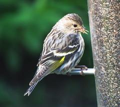 IMG_1709-1 Pine Siskin (John Pohl2011) Tags: bird canon john pohl perching sx50hs canonsx50hs