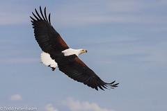 IMG_1950-African Fish Eagle (tfells) Tags: kenya africanfisheagle lakebaringo