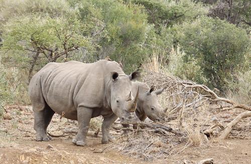 White rhinoceros or square-lipped rhinoceros, Ceratotherium simum.