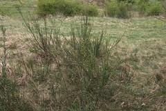 Cytisus scoparius, Besenginster (julia_HalleFotoFan) Tags: naturschutzgebiet cytisusscoparius hallesaale sachsenanhalt frühblüher schmetterlingsblütler faboideae besenginster franzigmark geisklee unteressaaletal trockenrasengebiet landschaftsschutzbebiet
