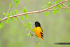 Baltimore Oriole (www.matthansenphotography.com) Tags: flowers color bird nature animal pose spring dynamic vibrant wildlife perch redwood avian budding songbird baltimoreoriole oriole bodyangles matthansenphotography