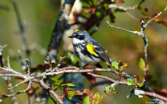 """Myrtle"" Yellow-rumped Warbler (S. c. coronata) (Steve Arena) Tags: spring nikon massachusetts myhouse d750 myrtle migration westboro warbler songbird myroof migrant yellowrumpedwarbler 2015 passerine myrtlewarbler mywa setophagacoronatacoronata wachusettview"