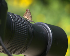 Shouldn't you be using a macro lens? (KsCattails) Tags: butterfly fun nikon outdoor kansas ironic overlandparkarboretum libytheanacarinenta americansnout d7000 kscattails