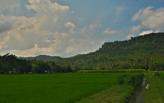 Paddy field (elly.sugab) Tags: food plant rice paddy padi irrigation sawah beras