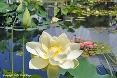 Some Like It Hot (Trish Mayo) Tags: waterlily garden aquaticgarden nybg newyorkbotanicalgarden gnneniyisi thebestofday lotus