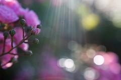 (juli_ei) Tags: rose sommer blte blume flower blossom licht bokeh canon eos6d 6d rosa ef2470mmf28lusm
