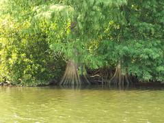 5 River Delta Alabama (38) (Stonehenge 68) Tags: 5riversdelta mobile delta wildlife alligator duck pelican water waterhyacinth hemlock snowyegret alabama