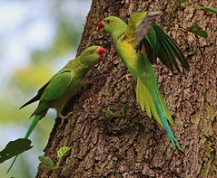 Ring Neck Parakeet (acerman17) Tags: flying flight fighting perched squable parakeet green