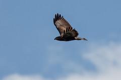 _F0A4154.jpg (Kico Lopez) Tags: birds rio spain aves galicia lugo mio busardoratonero