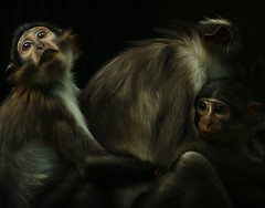 mangabey (54f) Tags: family light sunset shadow portrait holiday love animal animals children monkey eyes warm flickr shadows close great atmosphere best explore together ape endangered surrealistic animalplanet aap affe highqualityanimals
