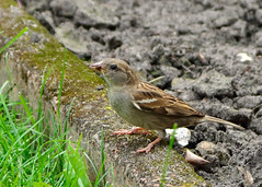 In the backyard (Romanie de Groot) Tags: holland bird home yard nikon europa europe tuin thuis vogel drenthe emmen huismus d5200