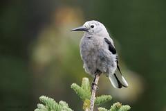 Clark's Nutcracker (Gregory Lis) Tags: britishcolumbia manningpark clarksnutcracker nucifragacolumbiana nikond810 gorylis gregorylis