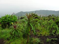42. On The Descent Of Nyiragongo Volcano, Virunga National Park, Democratic Republic Of Congo (Jay Ramji's Travels) Tags: volcán nyiragongovolcano3470m albertineriftvalley stratovolcano virunganationalpark africa vulkan volcano democraticrepublicofcongo