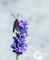 Papillon Zygene (Pier-photography) Tags: macro nature sphinx photography photo nikon bugs papillon insecte correze moro zygene
