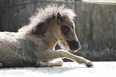 Ponyfohlen Olderdissen (C.S.Pictures) Tags: pony fell fohlen mhne tierparkolderdissen