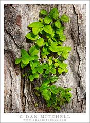 Poison Oak (G Dan Mitchell) Tags: park plants tree green nature leaves point oak state reserve sumac coastal poison lobos