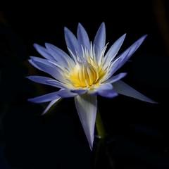 pond-bloom-9 (hodad66) Tags: pond backyard waterlily florida indialantic minoltaaf200mmf28apoghs minolta200f28 sonya7rii