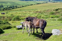 Time for Dinner (matlacha) Tags: ponies dartmoor feeding foal baby mare nature animals moors devon