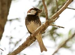 IMG_4771 (Sula Riedlinger) Tags: bird nature birds sardinia wildlife birding sparrow birdwatching wwf spanishsparrow passerhispaniolensis sardagna montearcosu spanishsparrowpasserhispaniolensis birdsofsardinia sardiniajune2016 wwfdimontearcosusardinia