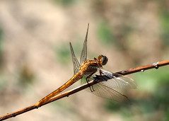 dragonfly.. (quarzonero ...Aldo A...) Tags: dragonfly libellula insetto nature macro sunrays5 coth5
