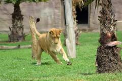 Juguetona (castorssito) Tags: zoo nikon felinos felines bigcats leona nikond3200 grandesfelinos liioness