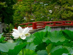 (hamapenguin) Tags: nature flower summer lotus white   bridge  kanagawa kamakura shrine