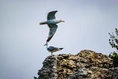 24072016DSC_0177.jpg (Ignacio Javier ( Nacho)) Tags: naturea gaviotas aves facebook flickr faunayflora