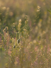 Premier amour ** (Titole) Tags: buds poppy grass titole nicolefaton sunlight field thechallengefactory