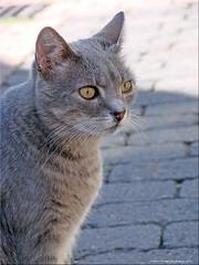 Nachbarskater - neighbour tomcat (1) (Jorbasa) Tags: jorbasa hessen wetterau germany deutschland kater katze tomcat tier animal pet haustier hobby blitzgescheit clever